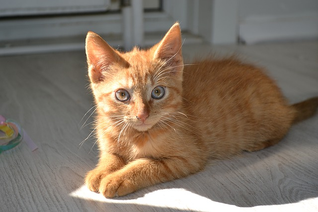 Pet kitten cute cat cute animal kitty cat pet kitten cute cat cute animal kitty cat voltagebd Image collections