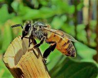 英語脳メルマガ 第03776号 There's been plenty of debate about the global decline of honey bee colonies in recent years. の意味は?