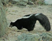 英語脳メルマガ 第04143号 Today, my dog decided to play with a skunk. の意味は?